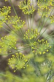 Flower of Dill in spring Provence France