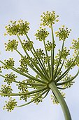 Umbel of Dill Ardèche France