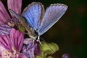 Common Blue on flower Midi-Pyrénées France