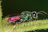 Cuckoo Wasp Midi-Pyrénées France