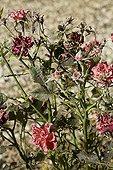 Attaque d'oïdium sur un rosier au printemps Provence