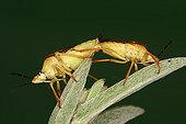 Black-shouldered Shield Bugs mating Midi-Pyrénées France