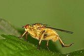 Yellow dung fly Nature reserve Moeraske Belgium