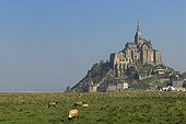 Herd of sheep at the foot of Mont Saint Michel