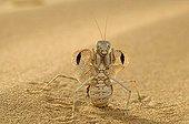 Mante land defence posture, United Arab Emirates