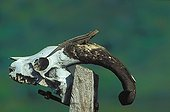 Male Lava lizard on a goat skull Galapagos ; In Santiago, goats imported by man, and then abandoned in the wild have caused major damages on the flora. A campaign for its systematic elimination began a few years ago.