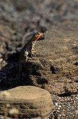 Female Lava lizard warming itself at sun Galapagos