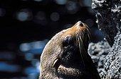 Galapagos Fur Seal warming itself at sun Galapagos