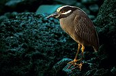 Yellow-crowned night heron at steal at night Galapagos