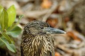 Portrait of a young Yellow-crowned night heron Galapagos