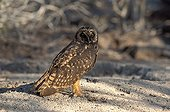 Short-eared owl watching around Galapagos
