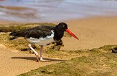 Galapagos American Oystercatcher walking on a sand shore