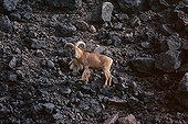 Old Barbary sheep male in the Termit Mountains Niger ; In the Aïr massif.