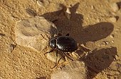 Pimelid beetle in the Tenere region Niger ; Coléoptère typical of the Sahara.