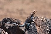 Attemptive Common Agama male warming itself at sun Algeria ; In Hoggar Mountains. Male ruling over a group of females and young.