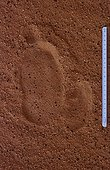 Ostrich track in the Sahara sand Tenere region Niger