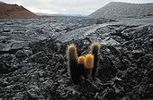 Lava Cactuses on a volcanic soil Galapagos ; Site : Santiago<br>One of the first colonising plants of lava fields