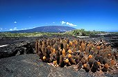 Lava Cactuses on a volcanic soil Galapagos ; Site : Fernandina island<br>One of the first colonising plants of lava fields
