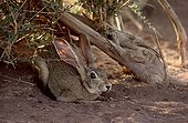 Cape hare adult lied down in the shad of an Atil Niger