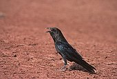 Brown necked raven producing its typical call Tenere Niger