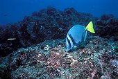 """Razor surgeonfish eating in sea bottom Galapagos ; It uses, for the defence or attack, a """"scalpel"""", sharp appendix located at the base of the tail."""