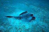 Diamond Ray posed on sea bottom Galapagos