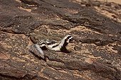 Saharan striped weasel on stones Tenere Niger