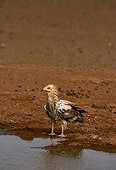 Egyptian vulture subadult drinking at a puddle Tenere Niger