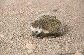 Desert Hedgehog male adult in a Tenere reg Niger