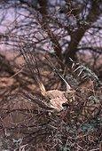 Dead Fulvous Babbler mummified by burning wind Tenere Niger