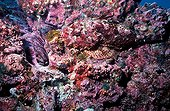 Spotted Scorpionfish camouflaged in a coral reef, Galapagos. Champion of the homochromie and mimicry : The bites inflicted by its dorsal spines are painful and venomous.