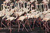 Pink flamingos in the mangrove Dubai UAE