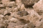 Gundi adult coming out of its rock shelter Tunisia