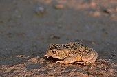 Mauritanian toad adult on the sand Sahara Tunisia