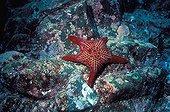 "Sea star on a coral reef Galapagos ; ""Gulf star"""