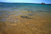 Silvertip shark swimming in the Pacific ocean Galapagos