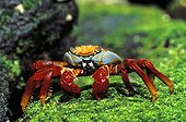 Sally Lightfoot Crab on moss Galapagos