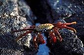 Sally Lightfoot Crab on a volcanic ground Galapagos
