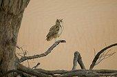 Grand Duke Desert on a branch, United Arab Emirates