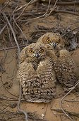 Young Grand Duc Desert to the nest, United Arab Emirates