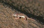 Sand gecko on the sand of the Sahara Tunisia