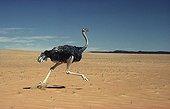 Ostrich female running Sahara Tunisia