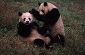 Giant Panda male approaching the female during rutting China