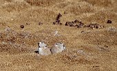 Couple of Royle's Pikas in short grasses Tibet China