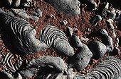 Twisted lava Sulivan Bay on Santiago island Galapagos