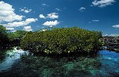 American mangroves in the Elizabeth Bay Galapagos ; Site : West coast of Isabela <br>Formation of hight red mangrove