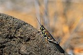 Large Painted Locust on a volcanic ground Galapagos