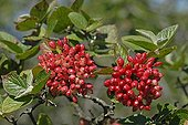 Red berries of wayfaring tree Alsace France