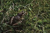 European frog in the grass Haute-Garonne France ; Locality: Bagnères-de-Luchon