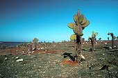 Sea purslanes and Prickly pears in a arid area Galapagos ; Site : South Plaza island